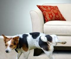 ניקוי ספה מריחות וכתמי שתן של בעלי חיים